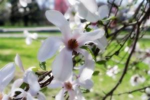 Magnolia de Kobé