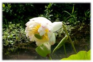 Le beau lotus